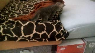 Кошка приучает котят к лотку