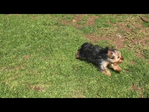 5 Months Old Giant Yorkie Pups Playing In The Yard With Mommy And
