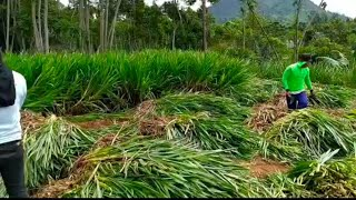 Indonesian Napier Grass        YASH GOAT FARM AND SEEDS