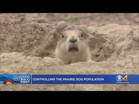 BEARDO - Prairie Dogs Are A Menace In Boulder County