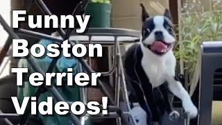 Boston Terriers Doing What They Do Best! Being Funny!