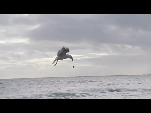 Clever Seagull Dropping Sea Urchin to Break It