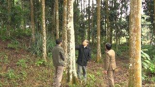 Tin Tức 24h: Huyện Văn Yên phát huy lợi thế từ cây quế