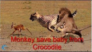 ライオンがゴリラを狩るときに間違い、ゴリラから恐ろしい力がある!