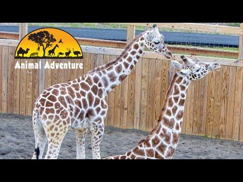 Tajiri & Desmond - Giraffe Yard & Barn Cam - Animal Adventure Park