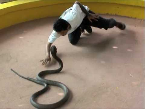 Kiss of Death  with a King Cobra