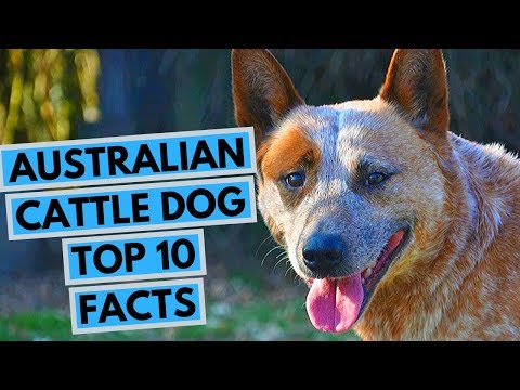Australian Cattle Dog - TOP 10 Interesting Facts