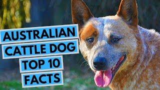 Australian Cattle Dog - TOP 10 Interesting Facts
