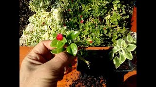 How to grow Baby Sunrose ( Aptenia cordifolia) from cutting