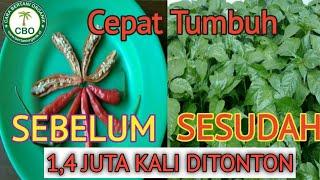Download lagu Cara Menyemai Biji Cabai Agar Cepat Tumbuh 2 Hari Sprout, how to sow chili seeds