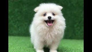 Bắt Gặp Chó Phốc Sóc Độc Nhất Vô Nhị Siêu Cute Tại Việt Nam (Pomeranian)  💓 BunBun Kids TV
