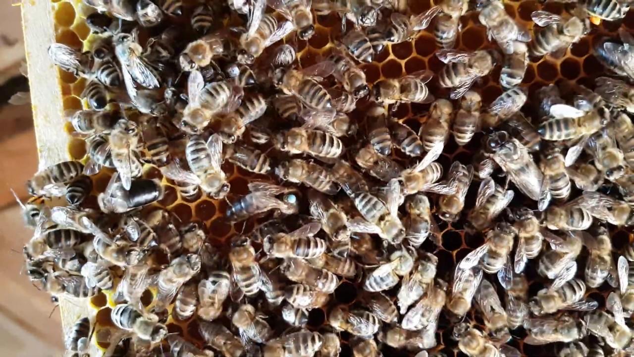 Bienen mit Königin an der Wabe