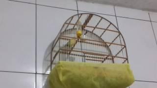 Canário com ácaro de traquéia escute o barulho que faz o pulmão do pássaro