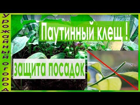 СУПЕР ПРОСТЫЕ СРЕДСТВА ОТ ПАУТИННОГО КЛЕЩА!!!!   выращивание   урожайный   паутинным   паутинный   средства   рассада   урожай   огород   клещом   борьбы