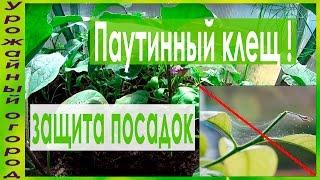 видео Паутинный клещ на комнатных растениях и методы борьбы с ним