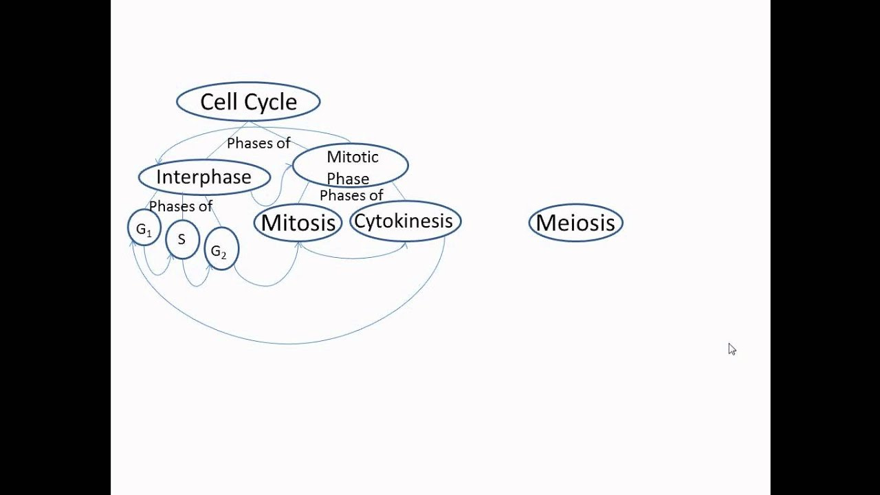 Concept Map Meiosis.Concept Mapping Part 2 Avi Youtube