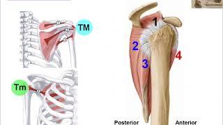 Anatomi / Kaslar / Üst Ekstremite (Omuz)