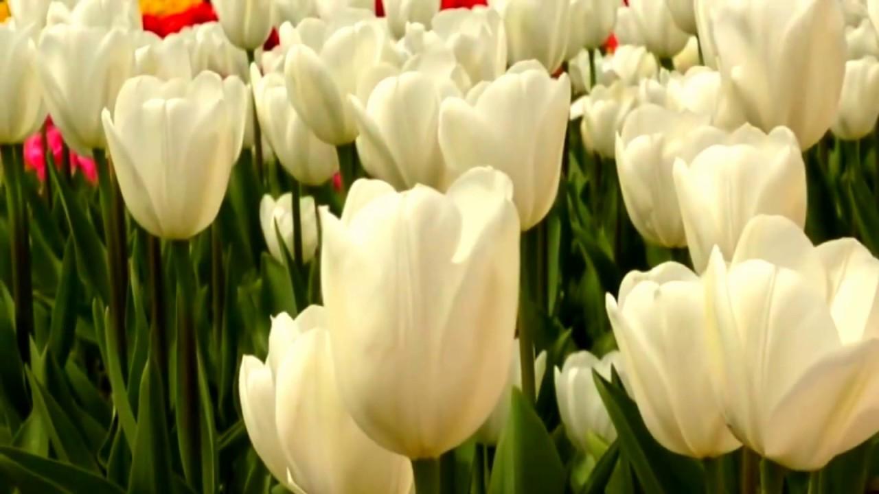 тюльпан ботанический фото