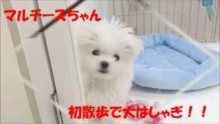 マルチーズ 2014/12/10 女の子 マルワン東日暮里店HP http://maruone....