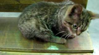 кривой котёнок