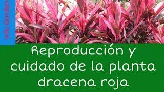 Como cuidar y reproducir la planta palma de Carey o drácena roja (Cordyline rubra )