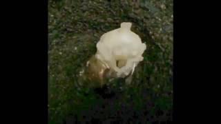 幼虫から蛹になるまでの約10分を40秒に短縮した動画です。