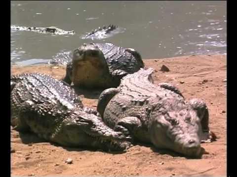 African wildlife: the crocodile