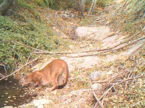 San Gabriel Mountains >> San Gabriel mountain lion #2 - YouTube