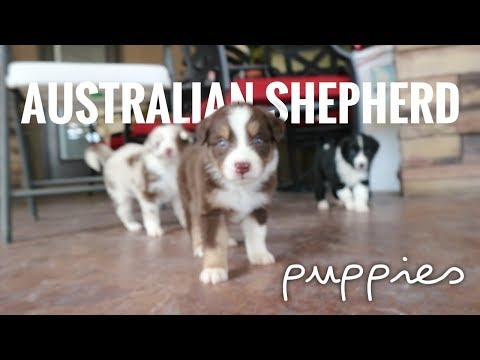 How To TAKE CARE Of 4 WEEK Old Puppies   Weaning & Cleaning