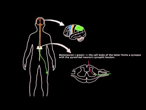Voluntary Movement (Neurons and muscles)