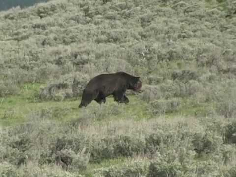 Grizzly Bear in Heyden Valley Yellowstone