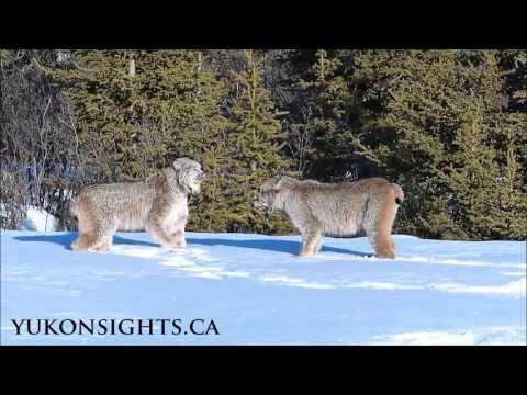 TWO Canada Lynx in Yukon
