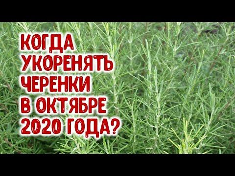 Когда укоренять черенки цветов в октябре 2020 года? Агрогороскоп размножения растений черенками
