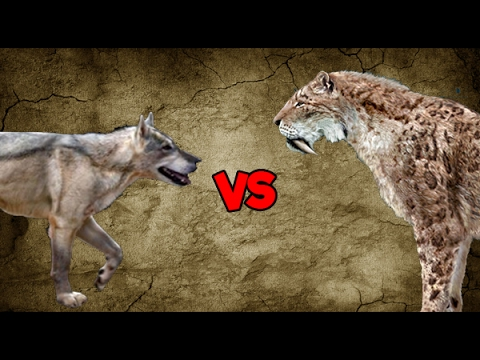 Dire Wolf Pack vs Saber-Toothed Tiger
