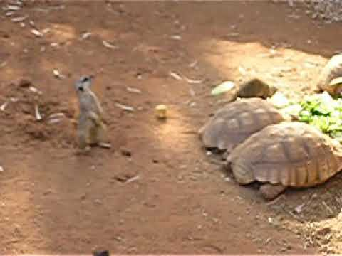 Slender-tailed meerkats and African spurred tortoises eating together