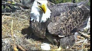 aef nefl juliet lays her first egg congratulations romeo juliet 11 2 17