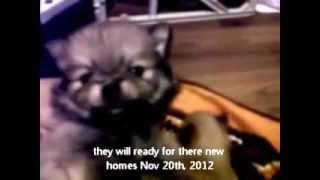 Super Cute Teacup Pomeranian Puppies