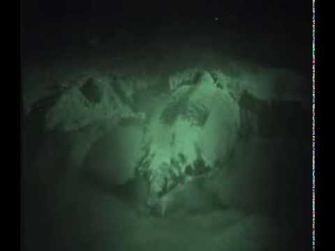 Leatherback turtle: full nest excavation