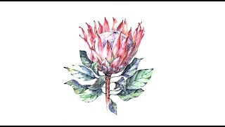 [Botanical Illustration] Protea Flower Watercolor Speed Painting