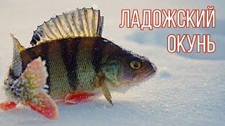 Зимняя рыбалка на окуня Рыбалка на Ладожском озере