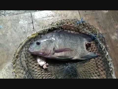 Teknik Pengobatan Ikan Nila Tilapia Yang Terkena Penyakit Borok Youtube