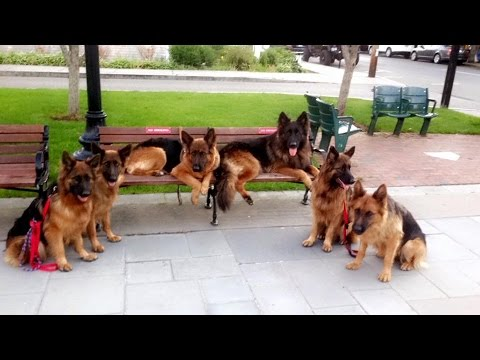 GSK pack of German Shepherds