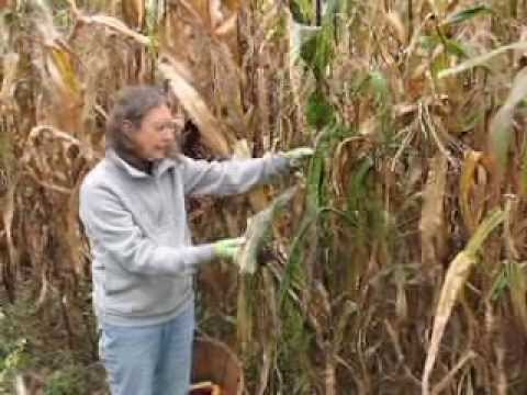 Harvesting Flint Indian Corn at Seed for Security