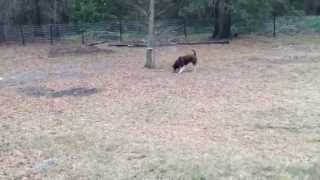 Australian Shepherd And Husky Mix Peeing, Chasing Squirrels And Pooping