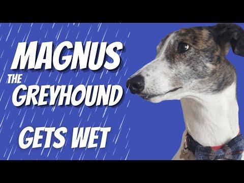 Greyhound adoption - Magnus gets wet
