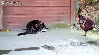 Когда птицы наглее кошек :) :). (Фазан и кошка)