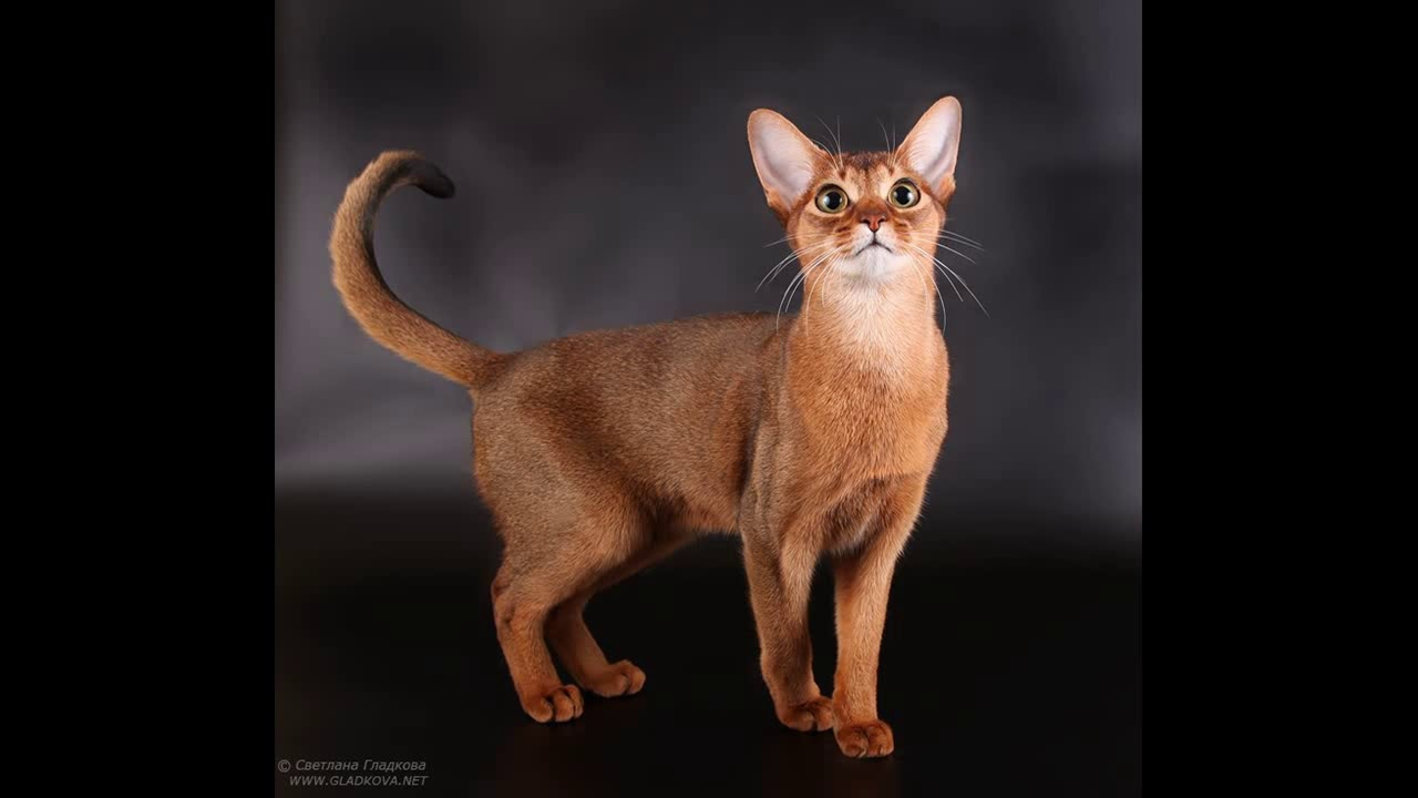 abyssinian cat breeders europe - YouTube