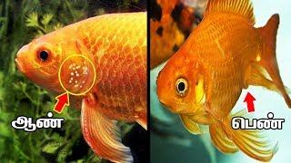 GOLD FISH-களில் ஆண் பெண்ணை கண்டுபிடிக்க தெரியுமா!