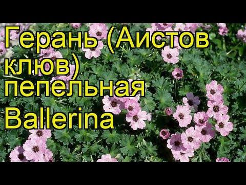 Герань пепельная Балерина. Краткий обзор, описание характеристик geranium cinereum Ballerina
