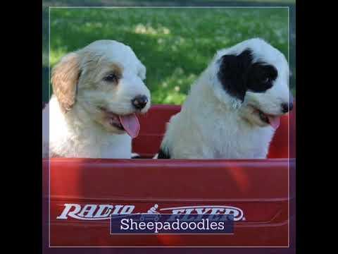 Bernedoodle or Sheepadoodle?